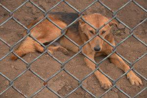 Hund hinter Maschendrahtzaun